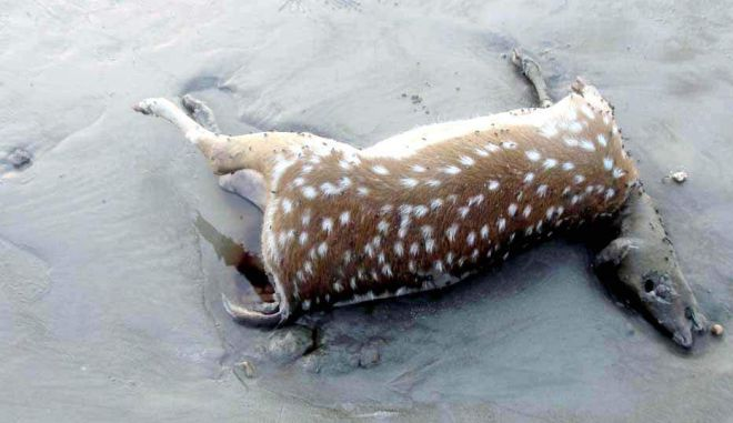 The bullet-hit deer that was found dead on Kuakata sea beach on Friday. Hit by poachers' bullets, another deer was on the same beach in April. PHOTO: STAR