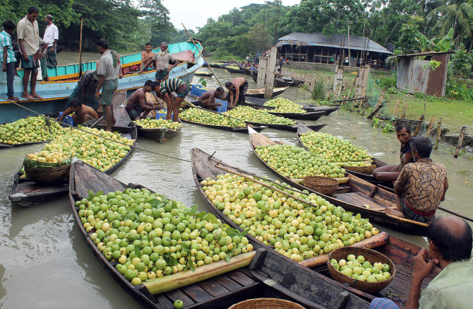 This famous floating market at Atghar-Kuriana in Nesarabad upazila under Pirojpur district sees huge supply of locally produced tasty varieties of guava. But the prices, now as low as Tk 80-120 a maund (40 kg), are too frustrating for the growers.  PHOTO: STAR