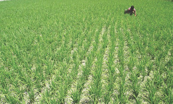 A farmer works in a Boro field at Mogolhat in the northern district of Lalmonirhat yesterday. The absence of rain and lean flow of Teesta water have created problems for Boro farmers in the region.   Photo: Star