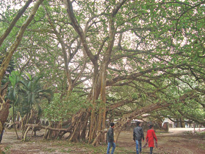 The largest banyan tree of Asia, spread over 20 bighas of land and ninety six feet tall, is located at Jhenidah near Kaliganj upazila town. PHOTO: STAR