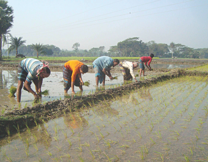 Farmers plant BRRI-Dhan-64, a zinc-enriched paddy invented by Bangladesh Rice Research Institute, at a field in Jhenidah Sadar upazila. PHOTO: STAR
