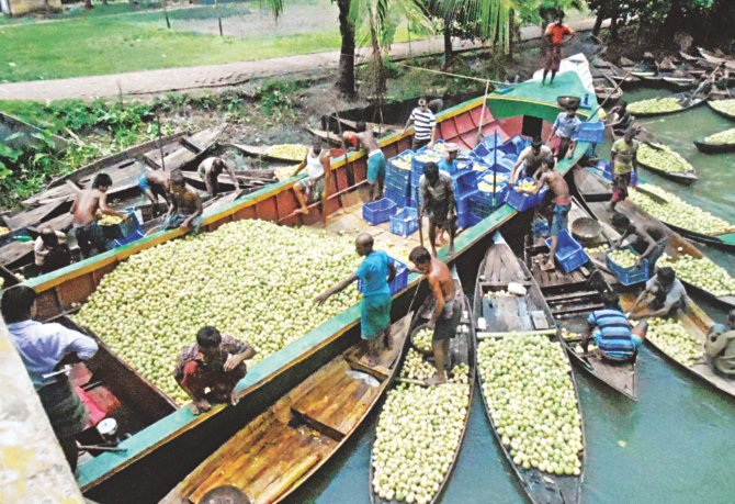 The floating market on Bhimruli canal in Jhalakathi district sees buying and selling of huge quantity of guava but the local growers, failing to carry the popular fruit to other districts for sale due to communications problem, are compelled to sell the item for a meagre Tk 1 or 2 a kg at present. PHOTO: STAR