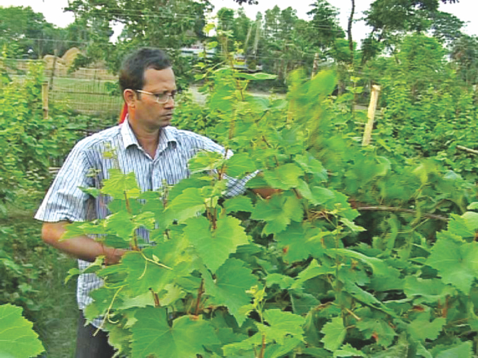 Salahuddin Ujjal is taking care of grape plants in his firm. Photo: Rasel Shah