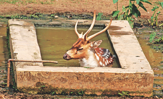 Trying to cope with the heat wave, a chital dips in a tank inside its enclosure at Dhaka Zoo yesterday. Photo: Sk Enamul Haq