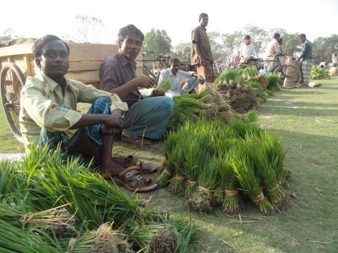 Traders sit in a row to sell their Irri-boro seedlings at Durakuti Haat in Lalmonirhat Sadar upazila on Tuesday as the item now sells for good prices. PHOTO: STAR