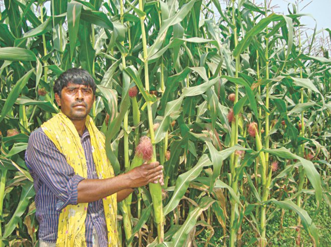 A farmer in Jhenidah next to his crops. PHOTO: STAR