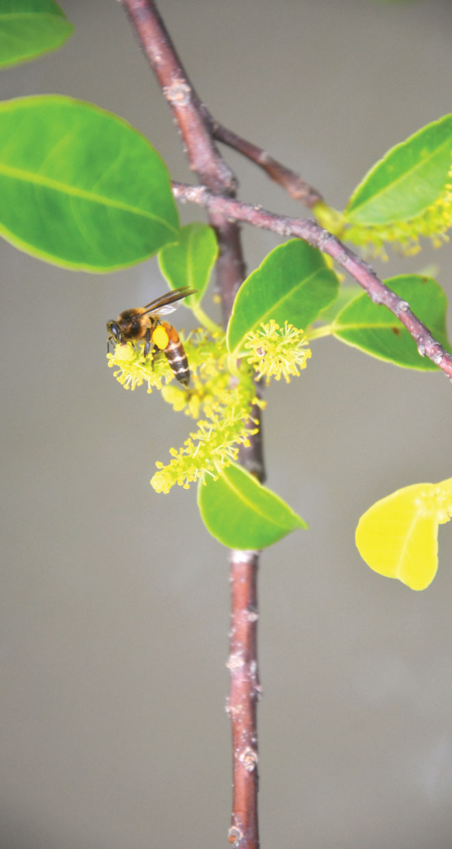 Pollination by the Giant Asian Honey Bees is the key to the survival of the Sundarbans. Photo: Enamul Mazid Khan Siddique