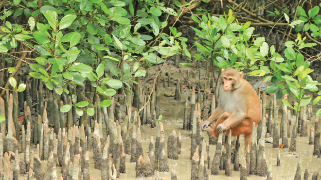 Many animals like this Rhesus Macaque have  adapted to live in this thorny, saline land. Photo: Mohammad Arju