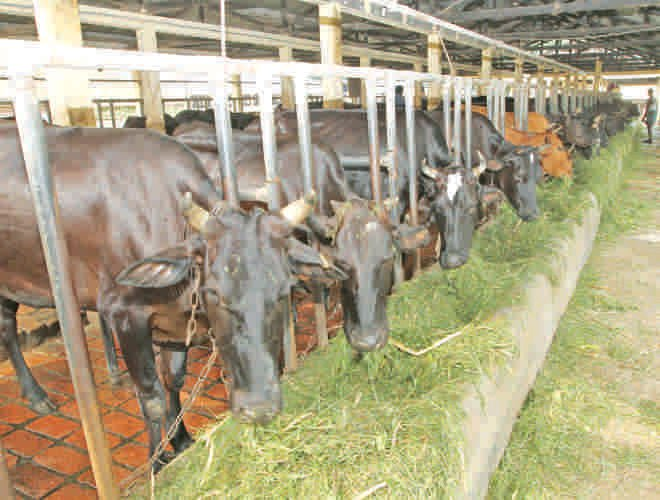 The government must give subsidies on feed. Photo: Prabir Das