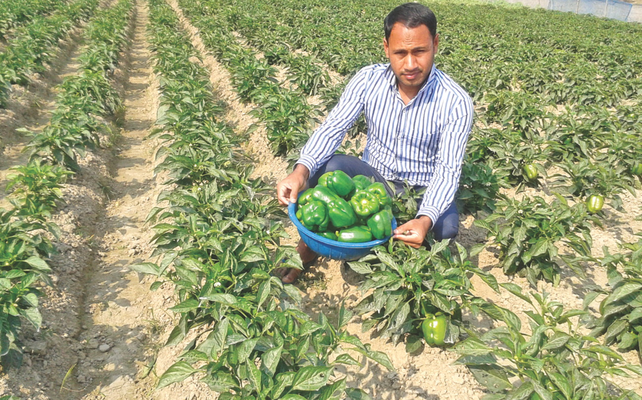 Modern farmer Belal Ahmed Imran from Sylhet proudly shows off fresh capsicum from his fields. Photo: Star
