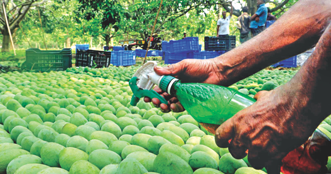 Traders and growers spray chemicals on mangoes to increase their shelf life before they are shipped out to the market. If they do not taint the fruits with toxic chemicals, the fruits would stay good a few days less that's all. The photo was taken in Meherpur. Photo: BSS