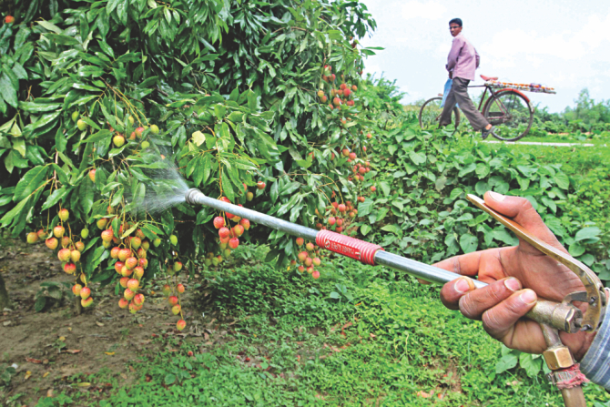 A man spraying chemicals on litchis to increase their shelf life before they are shipped out to the market. If they do not taint the fruits with toxic chemicals, the fruits would stay good a few days less that's all. The photo was taken in Dinajpur. Photo: File