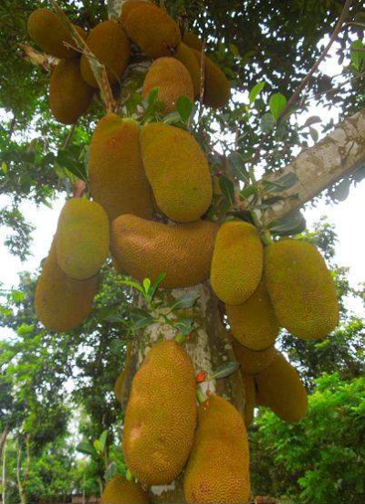 Nilphamari saw a bumper yield of jackfruit this season, only to frustrate the farmers due to low price in the district. Photo: Star