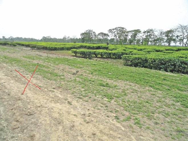 Indians cultivated tea on no-man's land along border areas of Bawra Union in Lalmonirhat while Bangladesh side (marked in red) of the border remains barren. PHOTO: STAR