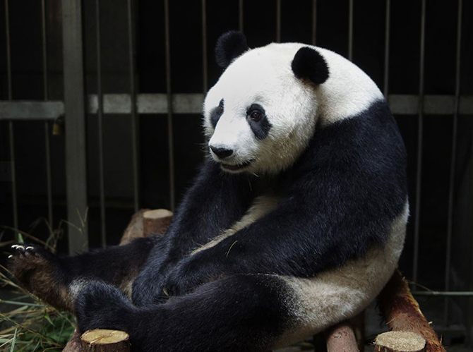 This picture taken on July 17, 2014 shows giant panda Ai Hin sitting in its enclosure at the Chengdu Giant Panda Breeding Research Centre. Photo: The Independent