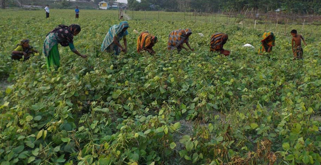 Women farmers collect mung bean from a farmland in Char Kajal area under Golachipa upazila of Patuakhali district that sees bumper yield of the popular vegetable. Photo: Star