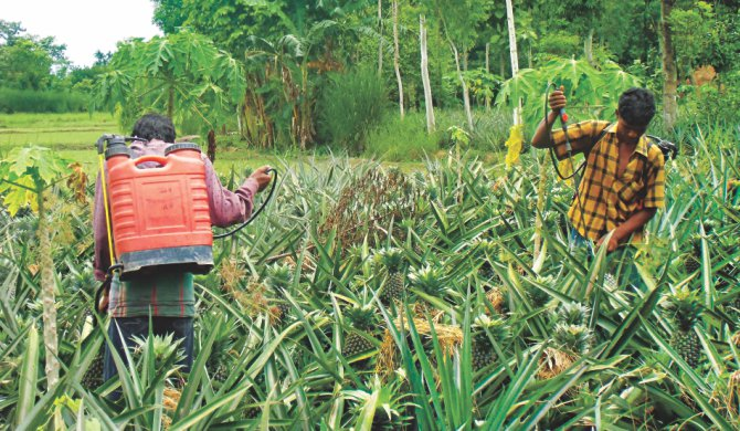 Farmers spraying chemicals on a pineapple orchard at Jangalia of Madhupur. The photos were taken recently. Photo: Mirza Shakil