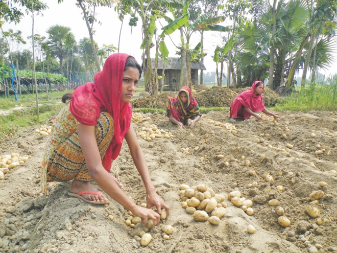 Farmers picking potatoes to be used as seeds for  next season from their farmland at Mohiron village in Jessore. PHOTO: STAR