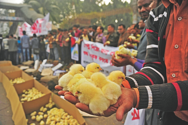 Poultry farmers demonstrate with day-old chicks at a human chain in front of the National Press Club in Dhaka yesterday to protest political shutdowns and blockades that brought  the sector to its knees. Photo: firoz ahmed