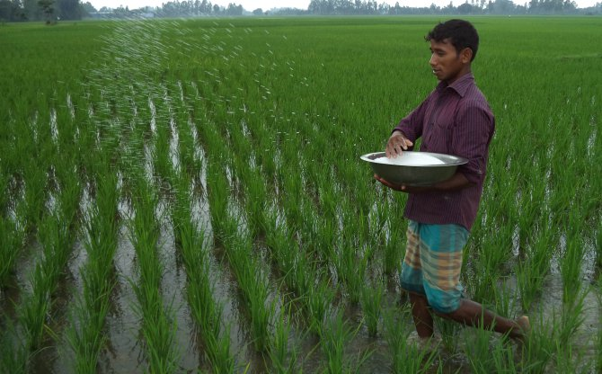 A farmer sprays urea on his aman field at Azimpur village in Biral upazila under Dinajpur district. Like many others, he had to purchase the input for higher than the government fixed price as it is peak cultivation season.  PHOTO: STAR