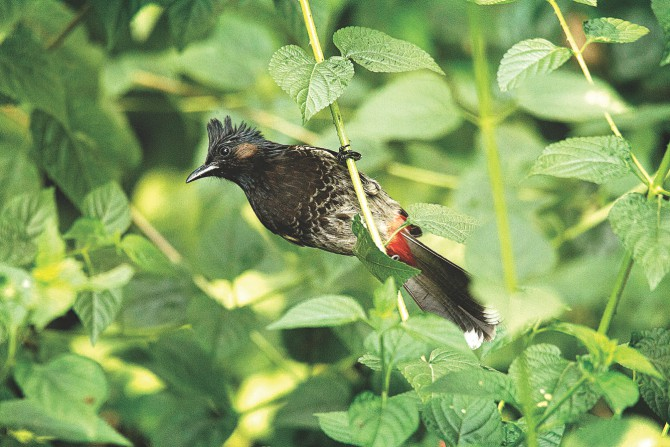 Red-vented Bulbul.  Photo: Ihtisham Kabir