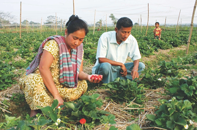 The farmer couple of Khagrachhari tends to their strawberries. PHOTO: STAR