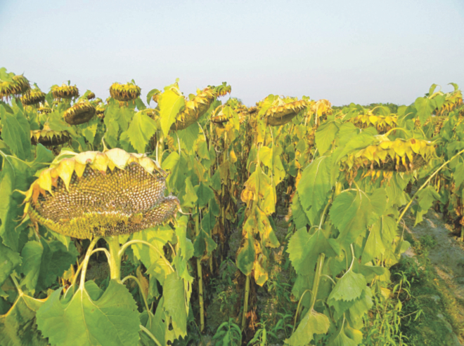 Late blight affected sunflowers at a field at Phulchhari village in Lalmonirhat Sadar upazila. Farmers of the village are very upset as sunflowers at their farmland are badly affected by the disease due to intense cold wave early this year. Photo: Star