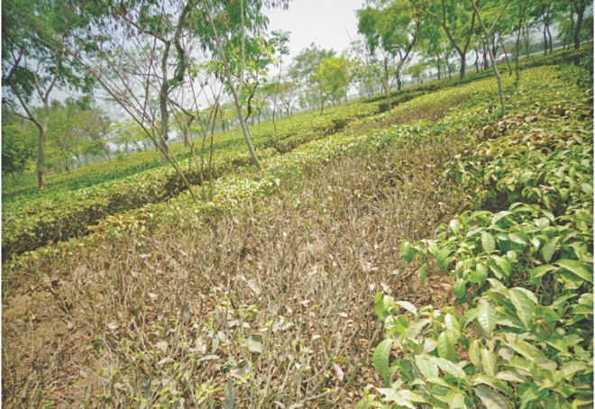 Dried up tea buds in the tea gardens of Panchagarh. PHOTO: STAR