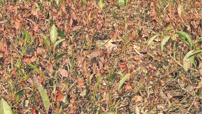 Red spider attack turns the leaves reddish. PHOTO: STAR