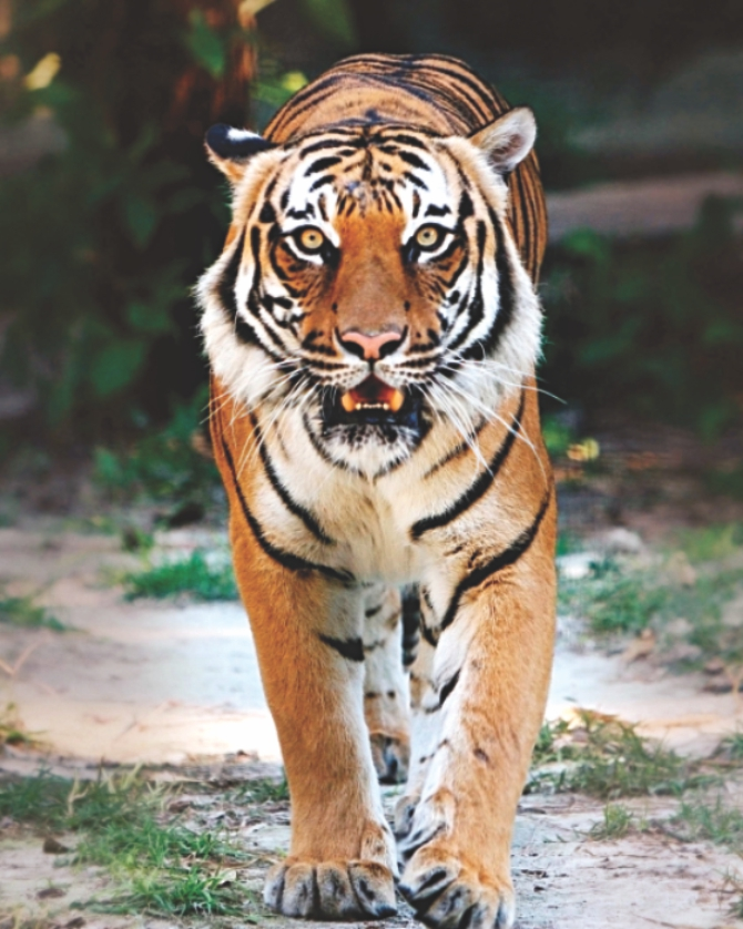 Bengal Tiger at the Baghdad Zoo Summary