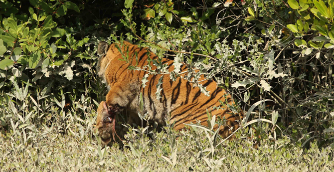 The tigress was first found with a rope tied to its left forelimb around Lawodobe area of Chandpai range in Sundarbans on January 28. It succumbed Wednesday.  Photo: Collected