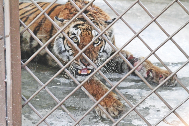 Tigress Pashuri died on Wednesday. The photo was taken on February 8 at Gazipur Safari Park. Photo: File