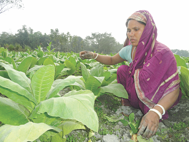 Farmers engaged in the cultivation of tobacco in Aditmari and Kaliganj upazilas in Lalmonirhat. PHOTO: STAR