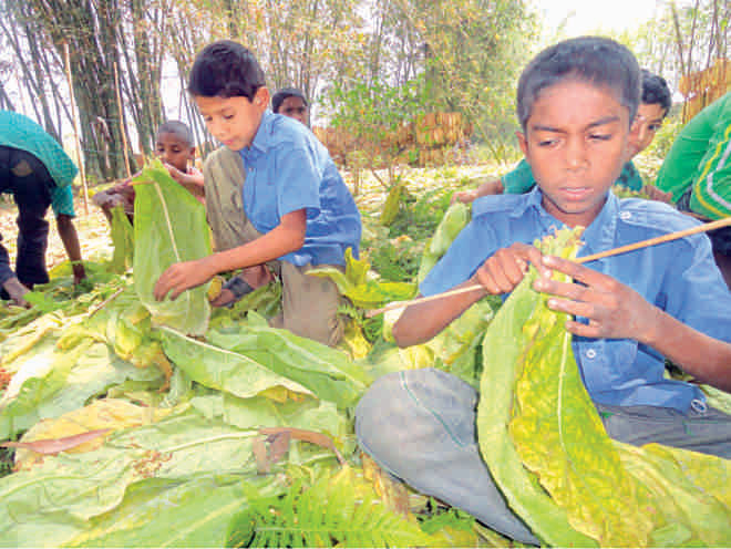 Children engaged in tobacco production.