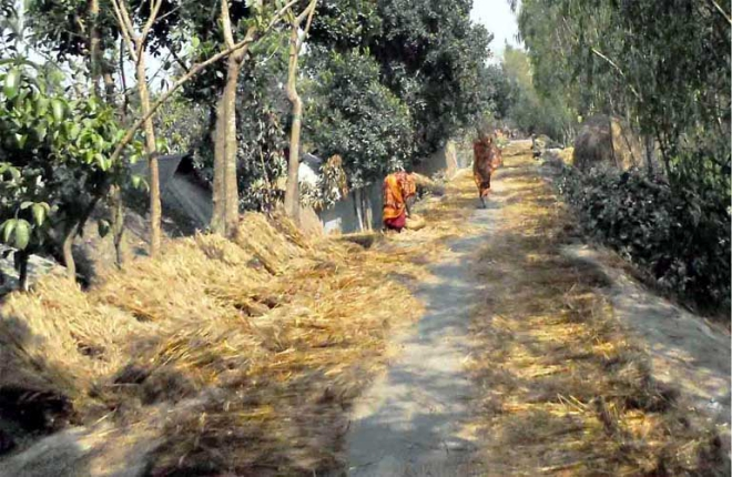 Wheat stalks, kept for drying, occupy a long stretch of a rural road in Sundarganj upazila under Gaibandha district, much to the nuisance of commuters and pedestrians.  PHOTO: STAR
