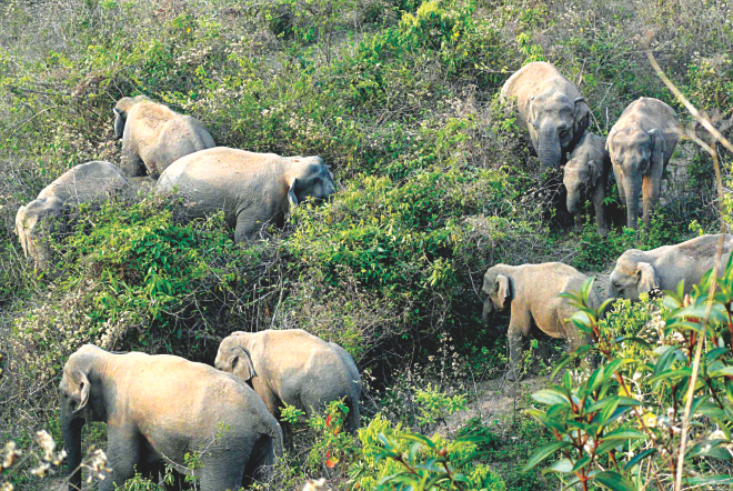 A herd of elephants graze on the hills at Poragaon union of Nalitabari upazila of northern Sherpur. This and two other herds entered several villages looking for food. The photo was taken recently. Photo: Courtesy