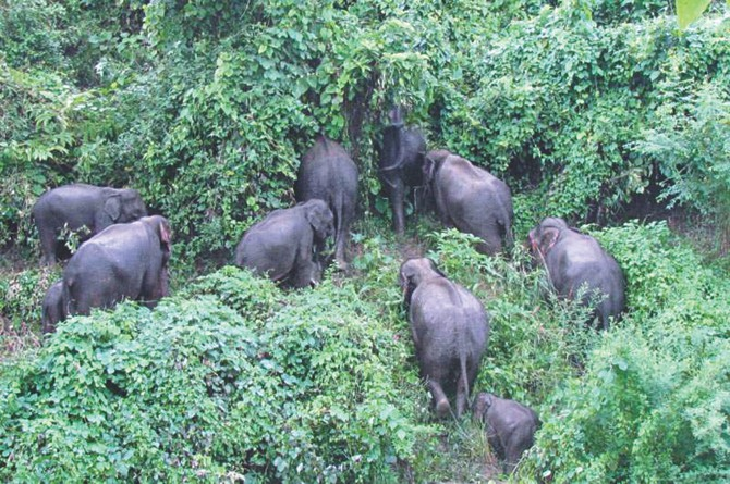 A herd of 17 wild elephants at Chairmanpara village in Rangamati Sadar destroying fruit orchards and paddy fields almost every night for the last few days. PHOTO: STAR