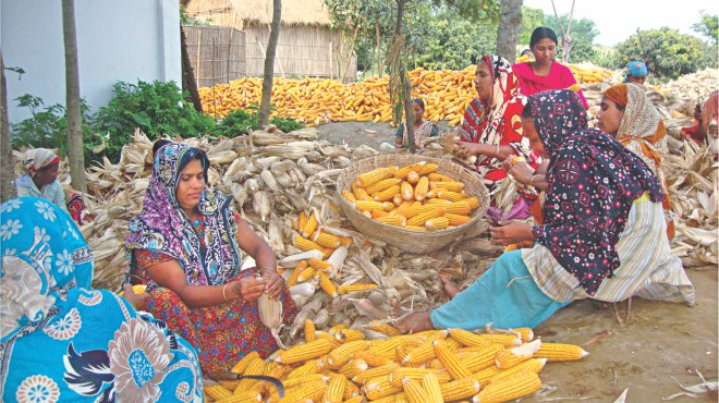 Women labourers are separating maize from chaff before transporting it to markets for sale on the premises of a farmer's house at Nargoon village in Thakurgaon Sadar upazila. Although several districts saw bumper yield of the item this year, farmers are not getting fair price for their produce. Photo: Star