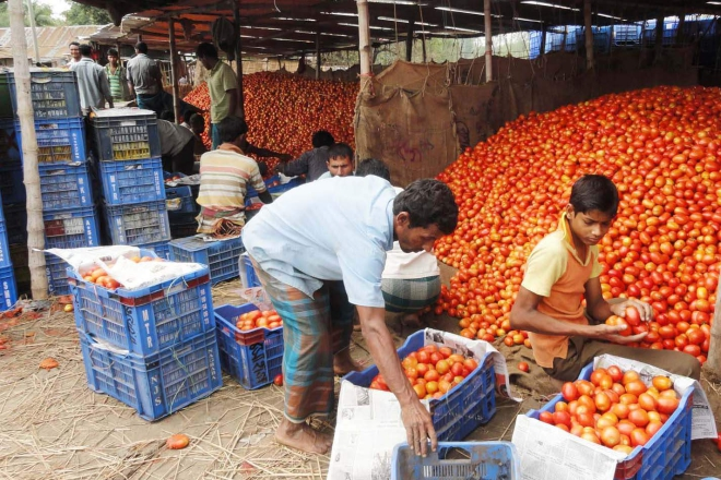 Workers sort summer tomatoes at a market of Gabura village in Dinajpur Sadar upazila that sees good yield of the popular vegetable this season. PHOTO: STAR