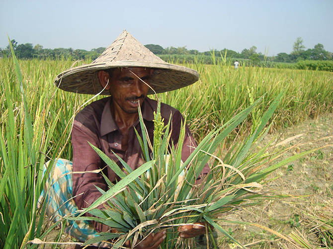 A farmer is examining paddy plant at his field at Patbila village in Kaliganj upazila of Jheniadah. Star file photo