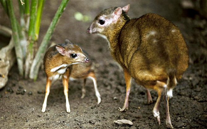 A Java mouse-deer cub, one of the world's smallest hoofed animals, and its mother at the Fuengirola Biopark, near Malaga Photo: AP