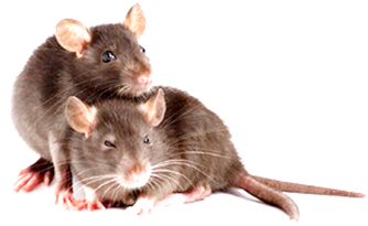 Like humans, rats experience regret: Study