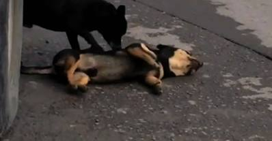 Video footage shows the dog pushing and nudging the dead animal. Photo: Independent