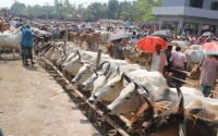Thousands of cattle are sold a day at Bagachra Satmile haat