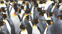 Penguins lost ability to taste fish: study