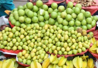 Plum cultivation gaining popularity