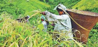 Growing rice under stress environment