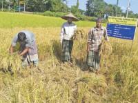 Zinc enriched paddy harvest in Sylhet