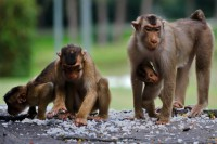New AIDS drug shields monkeys: Study
